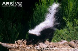 hooded-skunk-on-tree-trunk